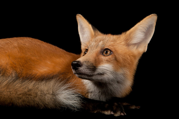 A red fox (Vulpes vulpes).