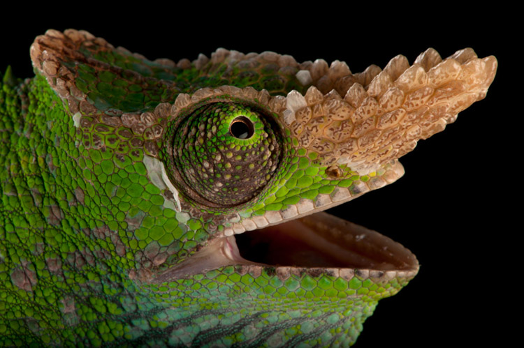 A West Usambara two-horned chameleon (Kinyongia multituberculata) at the Houston Zoo.