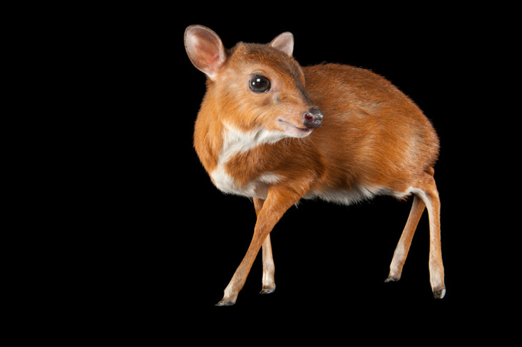Royal Antelope (Neotraus pygmaeus) at the LA Zoo. This species weighs 9-10 pounds making it the smallest of all antelopes.