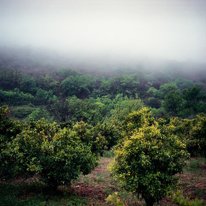 A view of the orange trees in the field outside the new house.